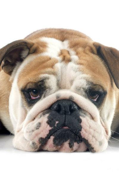 bossy bulldog