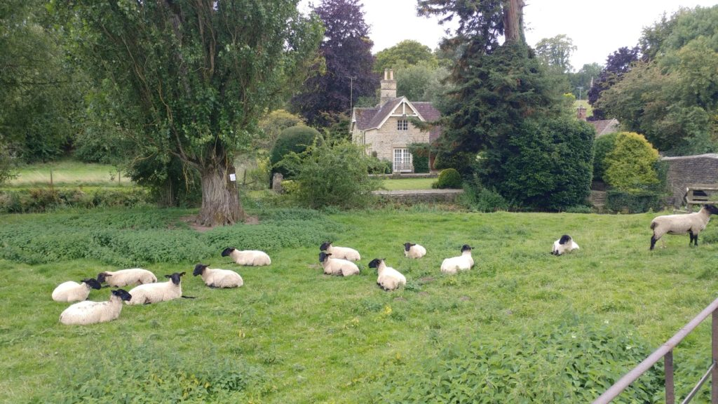 walking the cotswolds sheep