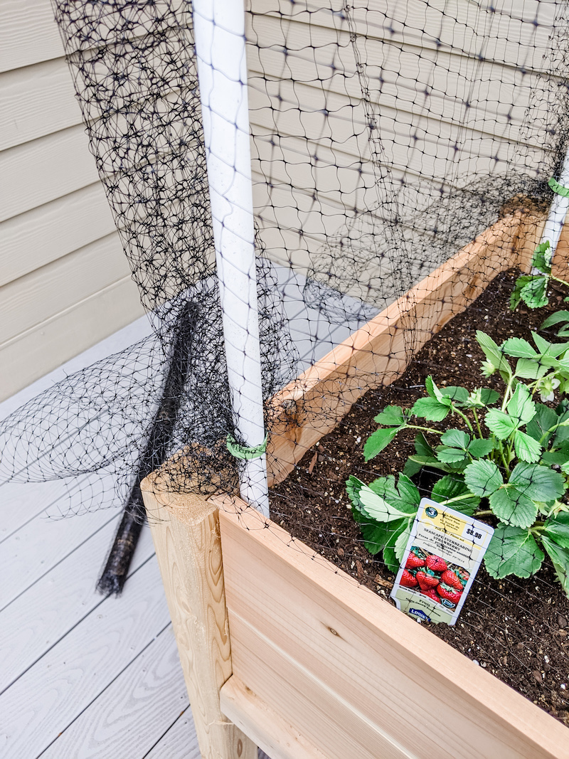 Small Space Vegetable Garden - Adding the Netting to PVC pipes