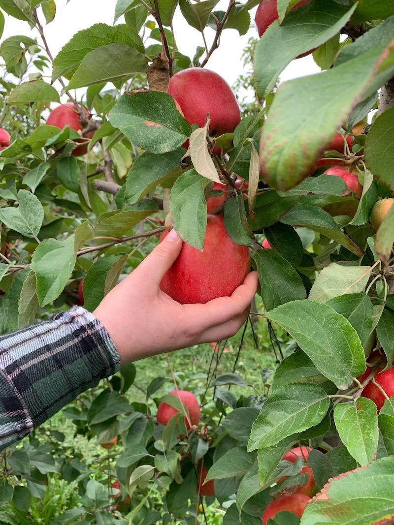 A hand grabbing an apple off an apple tree