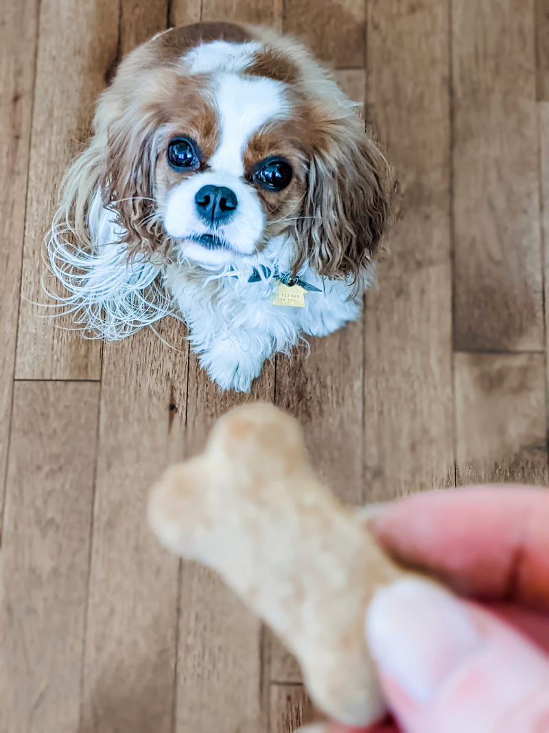 Marie's cocker spaniel looking up longingly at a homemade Pumpkin Dog Biscuits