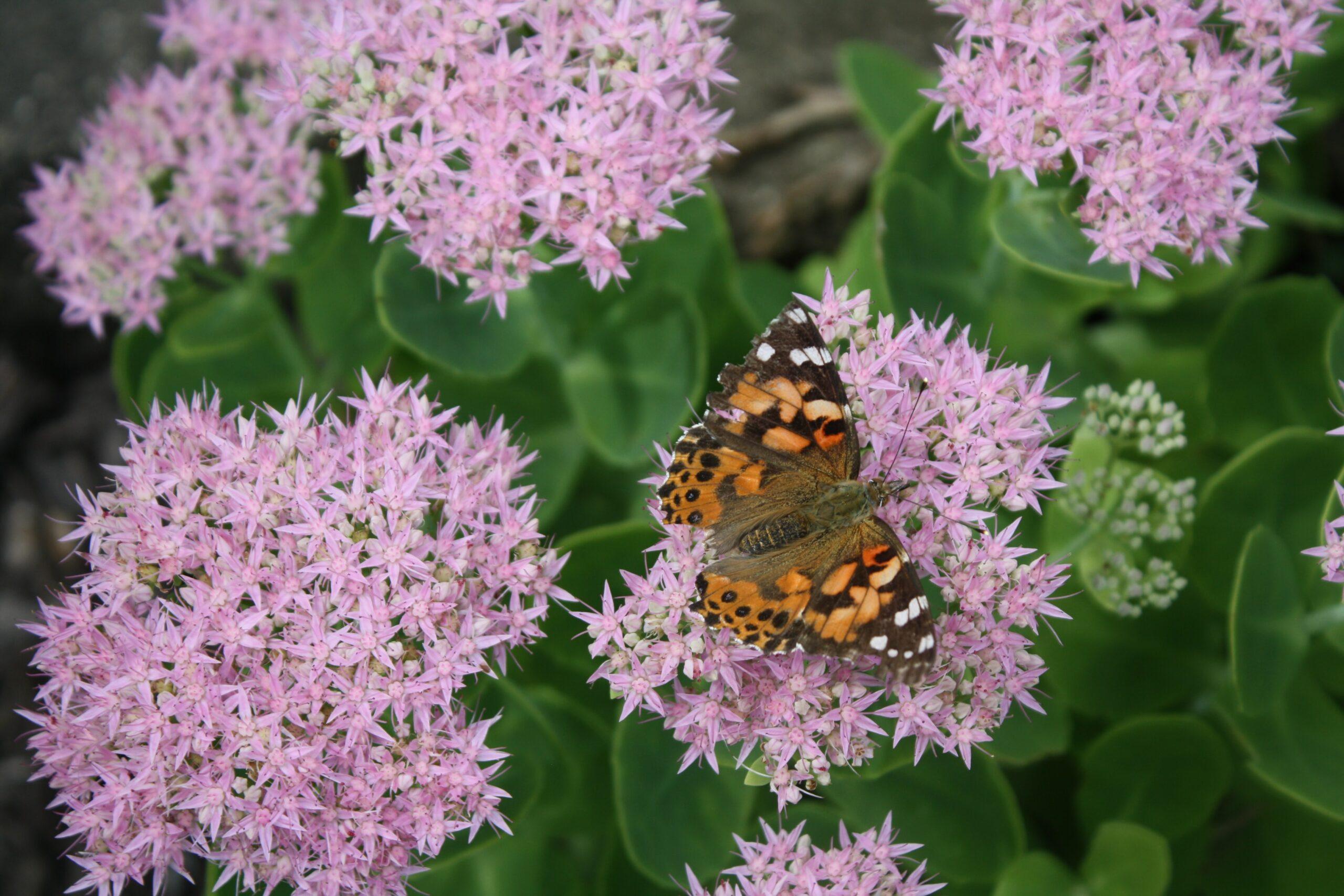 12 Flowers for Beginning Gardeners: Sedum