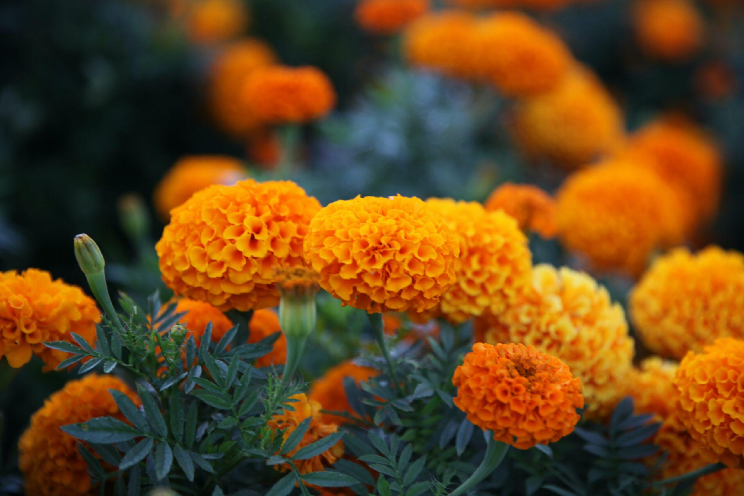 12 Flowers for Beginning Gardeners: Marigolds