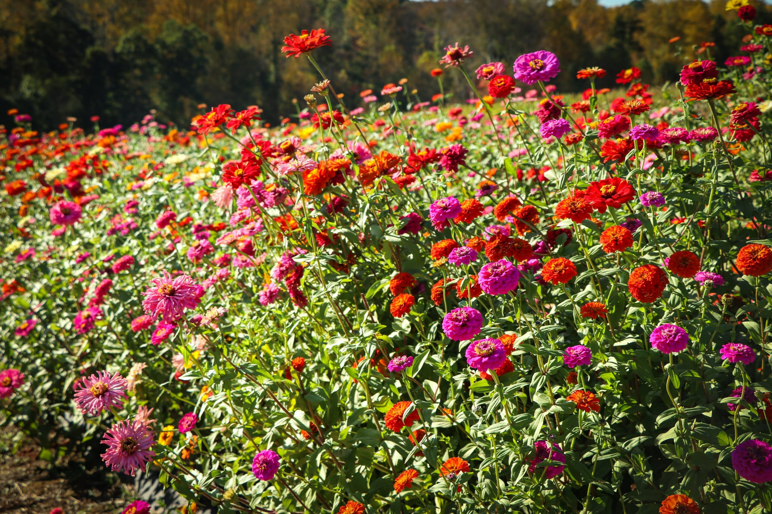 12 Flowers for Beginning Gardeners: Zinnias