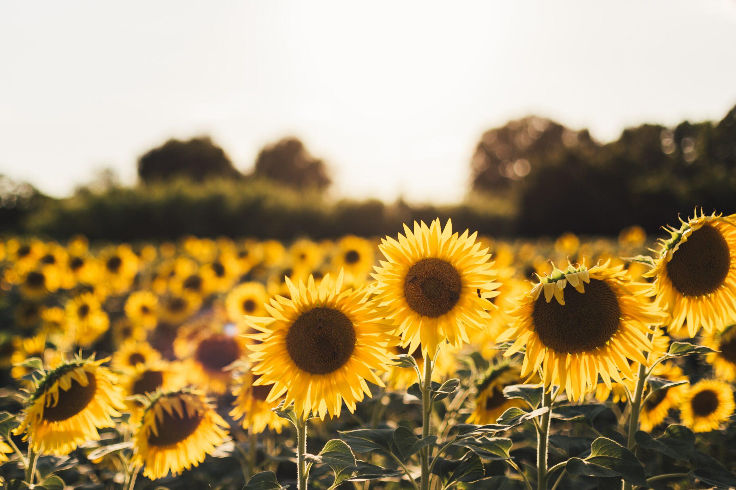 12 Flowers for Beginning Gardeners: Sunflowers