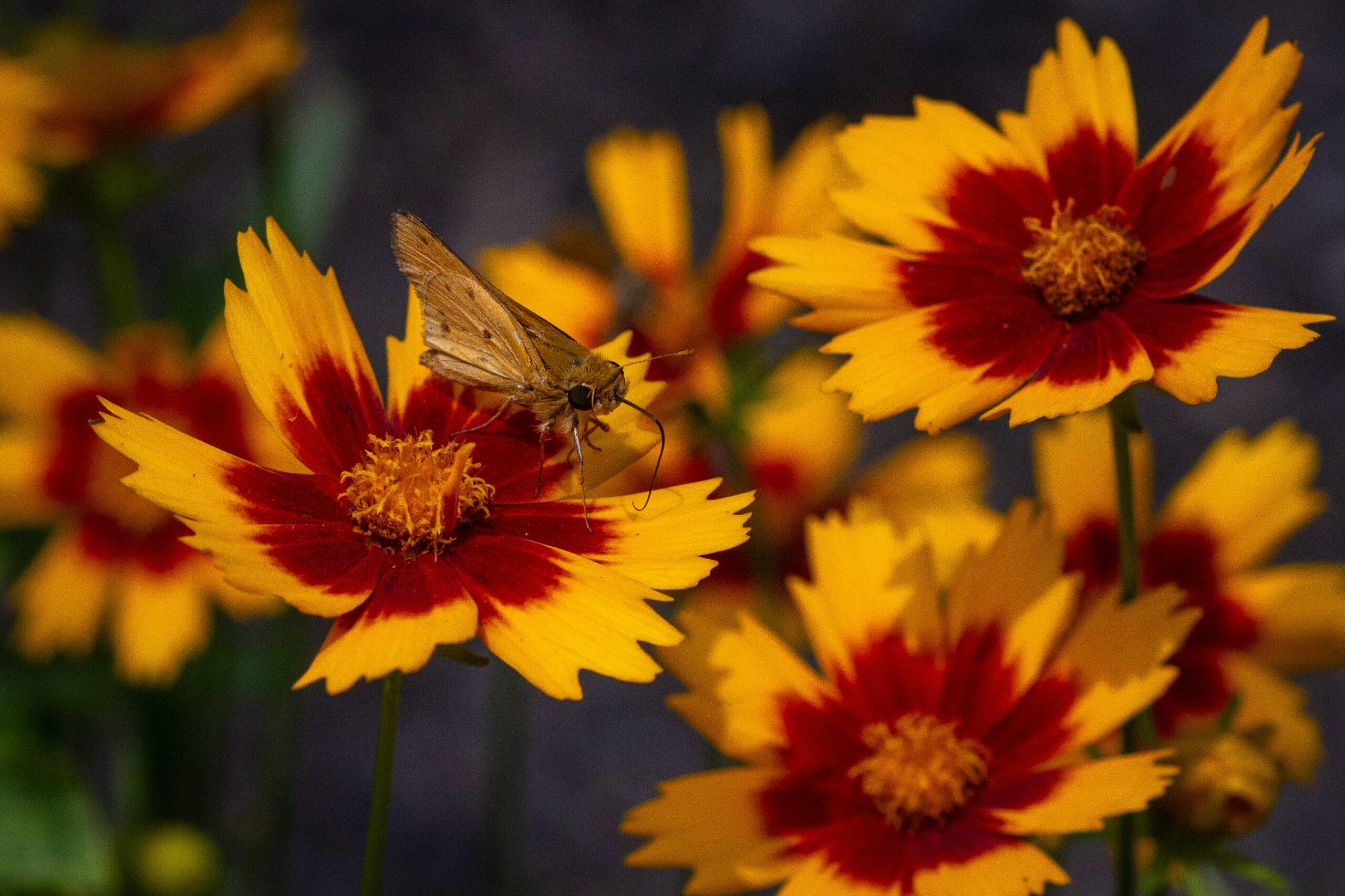 12 Flowers for Beginning Gardeners: Coreopsis