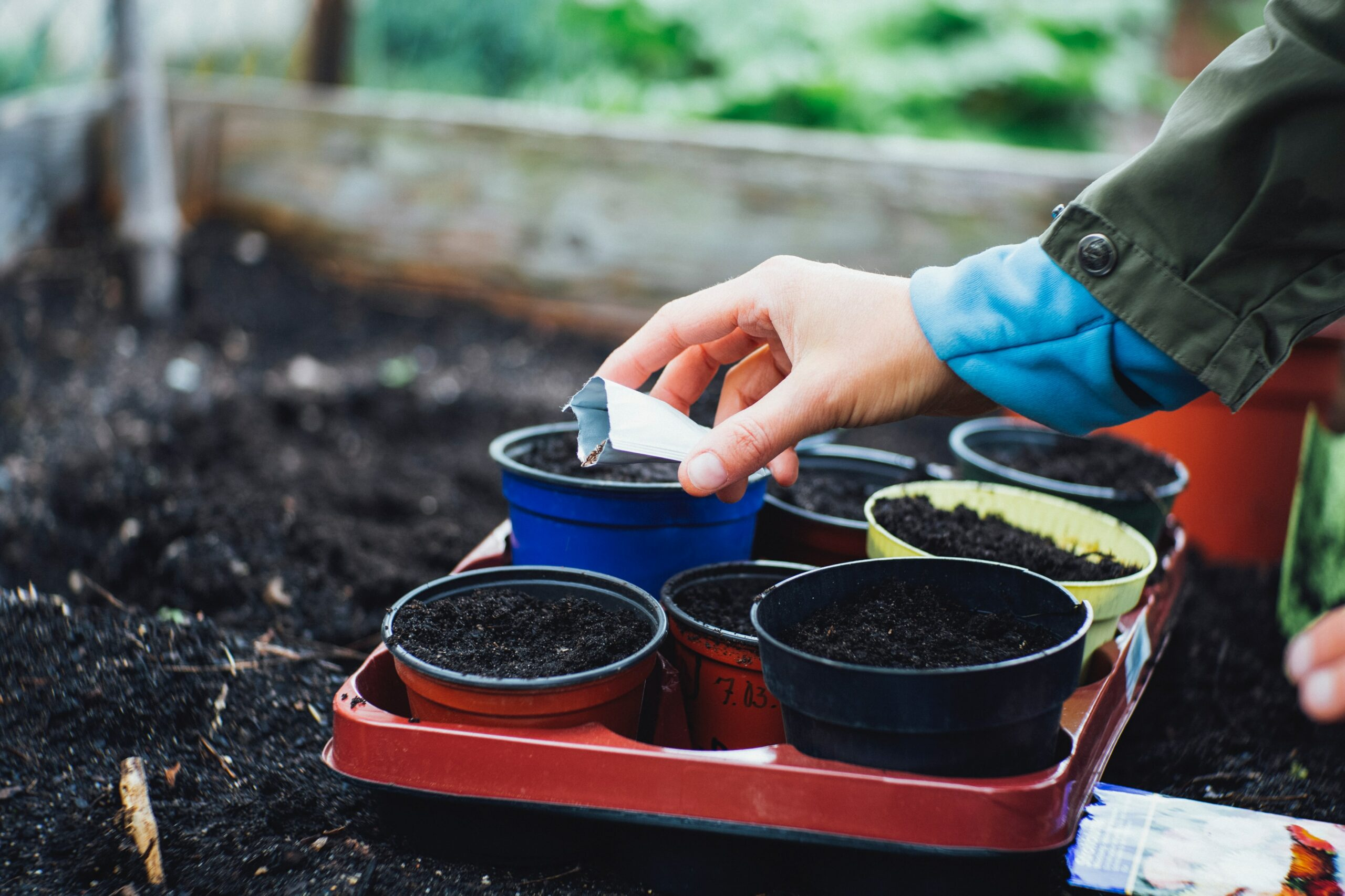 A woman transferring potted plants into a garden bed