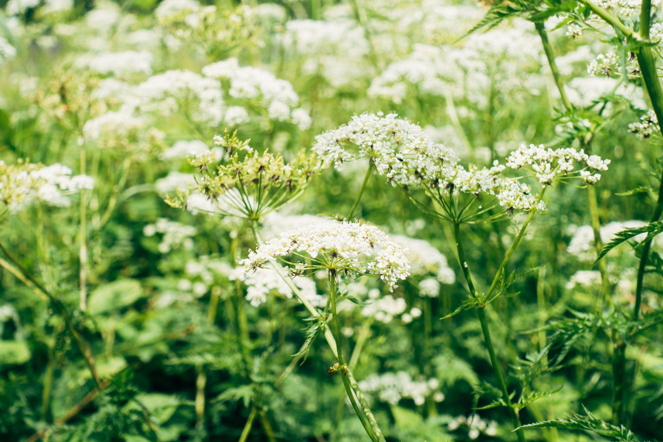 12 Flowers for Beginning Gardeners: Yarrow