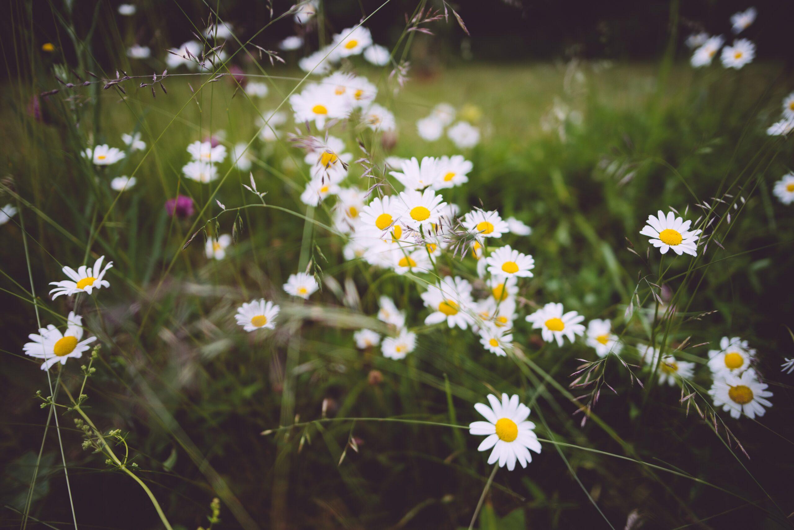 12 Flowers for Beginning Gardeners: Cosmos