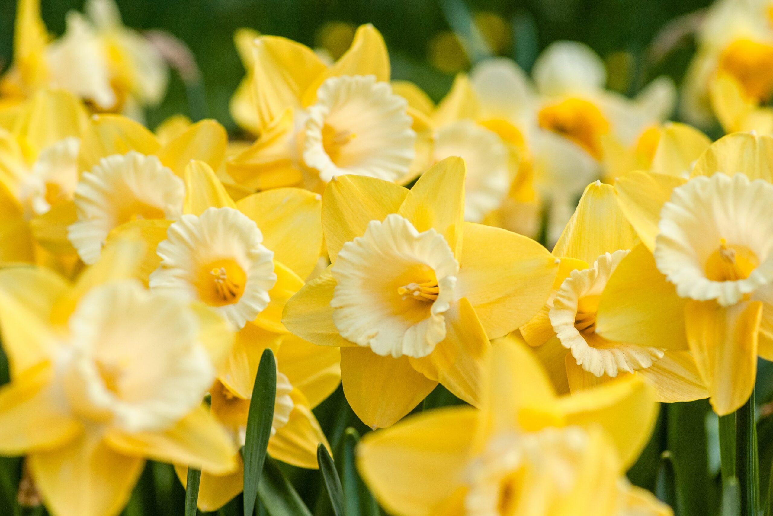 12 Flowers for Beginning Gardeners: Daffodils