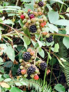 A close up of some of the blackberries - still on the vine - that Marie found in her backyard.